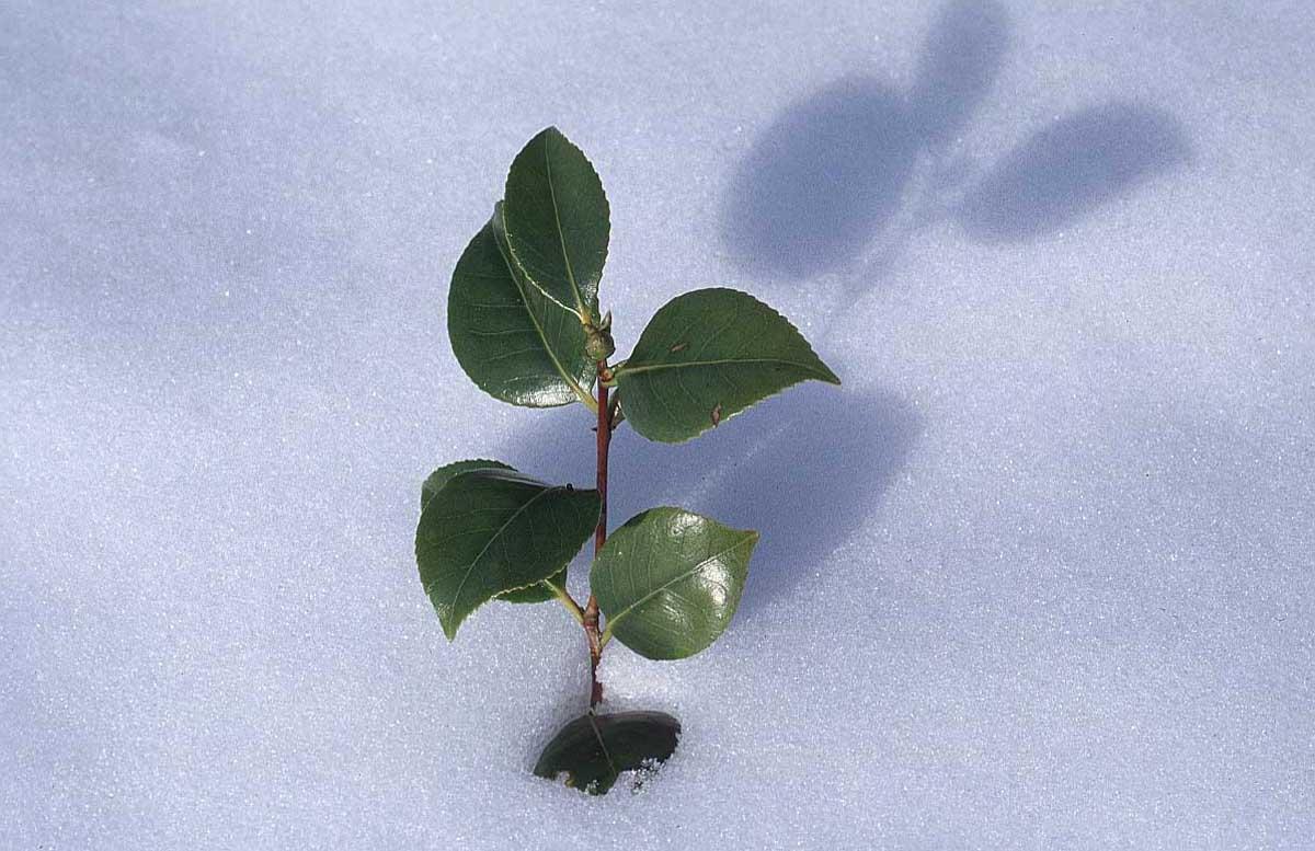 گذر از سرما --- عکس با کیفیت از گیاهی که در سرما و یخبندان رویش را به نمایش می گذارد و سبزی اش را به رخ برف می کشد